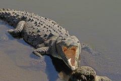 调查鳄鱼的嘴 库存照片