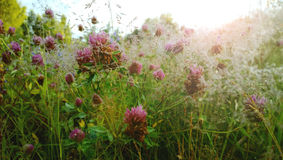 调遣与三叶草和光束紫色花  库存照片