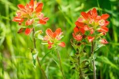 调遣与五颜六色的橙色野花在Hagerman野生生物保护区,得克萨斯 免版税库存照片