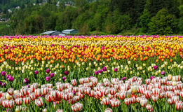 调遣与全部加拿大150白色和红色郁金香 免版税库存图片