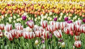 调遣与全部加拿大150白色和红色郁金香 库存图片