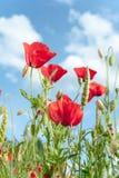 调遣与在阳光的红色透亮鸦片花 免版税库存照片