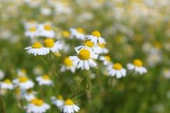 调遣与春黄菊植物在花的母菊属chamomilla 库存照片