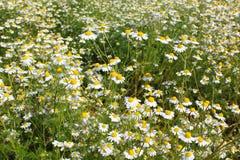 调遣与春黄菊植物在花的母菊属chamomilla 免版税图库摄影