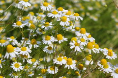 调遣与春黄菊植物在花的母菊属chamomilla 免版税库存照片