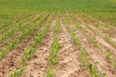 调遣与行年轻,绿色,新近地发芽的玉米 免版税库存照片