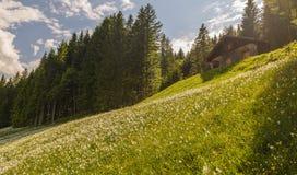 调遣与许多白色水仙,施蒂里亚,奥地利 库存照片