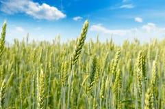 调遣与麦子和蓝色多云天空的成熟耳朵 浅深度 免版税库存照片