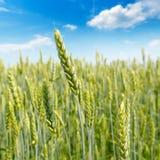 调遣与麦子和蓝色多云天空的成熟耳朵 浅深度 免版税库存图片