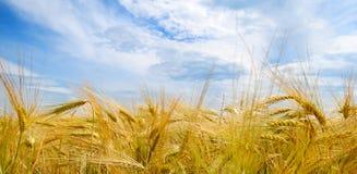 调遣与麦子和蓝色多云天空的成熟耳朵 免版税库存照片