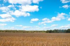 调遣在森林和天空背景的燕麦  库存图片