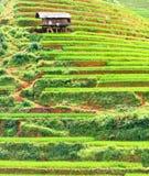 调遣水稻 库存图片