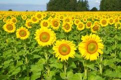 调遣用开花的向日葵在一个晴朗的夏日 免版税库存图片
