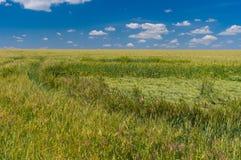 调遣用未成熟的麦子由雨和风翻滚了下来 免版税库存照片