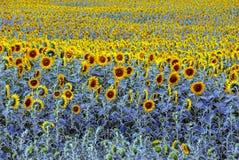 调遣用黄色开花的向日葵在一个晴天 库存照片