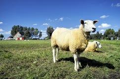 调遣突出绿色的羊羔等待 免版税库存照片