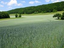 调遣绿色黑麦 库存图片