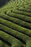 调遣绿茶 免版税库存图片