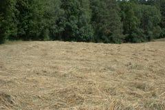 调遣裁减干草放置在阳光下烘干的地方,与森林在背景中 免版税图库摄影