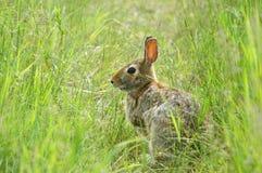 调遣野兔 库存图片