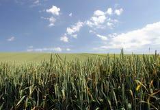 调遣麦子 免版税库存照片