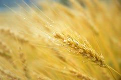 调遣麦子 免版税库存图片