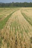 调遣麦子 库存图片