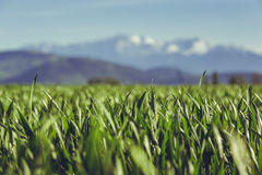 调遣绿色麦子 库存照片