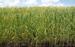调遣绿色麦子 免版税库存照片