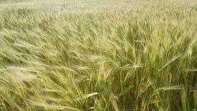 调遣绿色麦子 影视素材