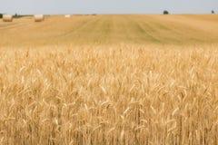 调遣黑麦 免版税图库摄影