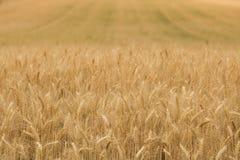 调遣黑麦 免版税库存照片