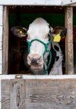 谈的母牛在谷仓 免版税库存照片