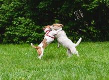 谈话两条的狗,当使用和跳舞在公园时 库存图片