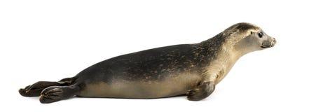 说谎一个的公用印章的侧视图,海豹属vitulina, 8个月 免版税库存图片