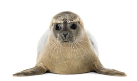 说谎一个的公用印章的正面图,面对,海豹属vitulina 免版税库存照片