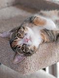 说谎七个月的Torbie w/White的小猫  库存图片