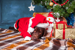 说谎与在圣诞节装饰背景的礼物的黑拉布拉多猎犬 免版税库存照片