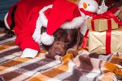 说谎与在圣诞节装饰背景的礼物的黑拉布拉多猎犬 库存照片