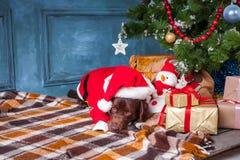 说谎与在圣诞节装饰背景的礼物的黑拉布拉多猎犬 免版税图库摄影