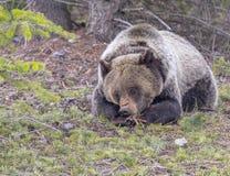 说谎与爪子的年轻北美灰熊被折叠 库存照片