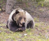 说谎与爪子的年轻北美灰熊被折叠 库存图片
