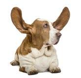 说谎与耳朵和看rigth的贝塞猎狗 免版税图库摄影