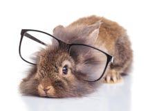 说谎与他的在地板上的头的狮子顶头兔子 图库摄影