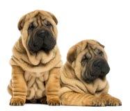 说谎两只Shar pei的小狗紧挨着坐和 库存照片