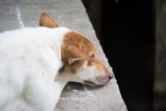 说谎充满悲伤的孤独的狗 免版税库存照片