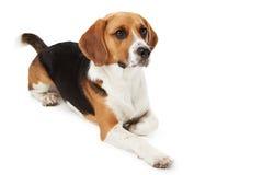 说谎反对白色的小猎犬狗演播室画象  免版税库存图片