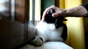 说谎和休息在窗口的黑白猫在屋子里 影视素材