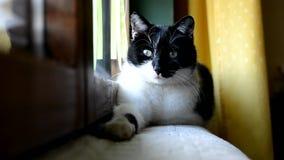 说谎和休息在窗口的黑白猫在屋子里 股票视频