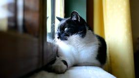 说谎和休息在窗口的黑白猫在屋子里 股票录像